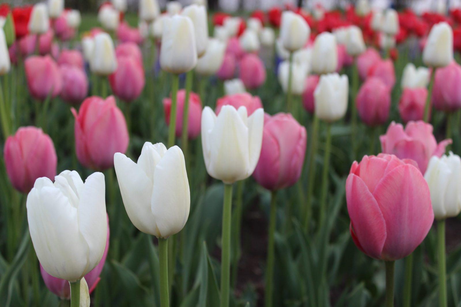 Фото-історія : фестиваль тюльпанів на Лівому березі